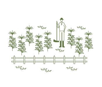 cornfarm